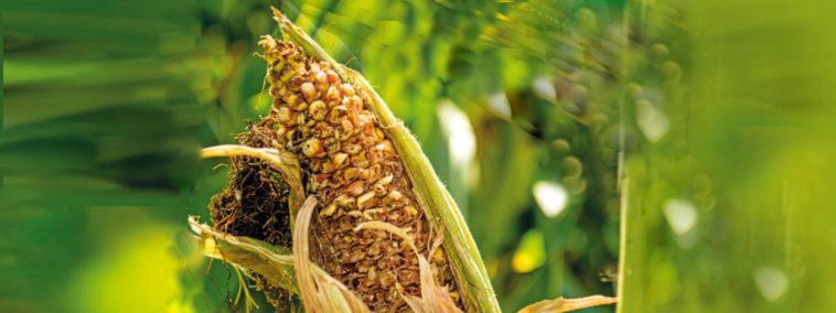 geschädigter Maiskolben