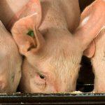 Schweine fressen aus Trog
