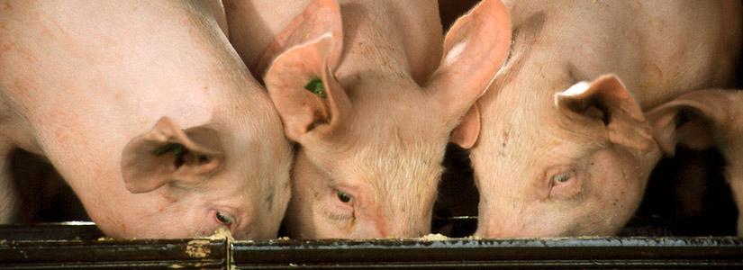 fressende Schweine