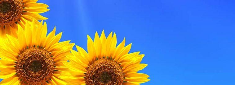 Sonnenblumen vor blauem Himmerl