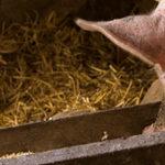 Schwein mit Trog