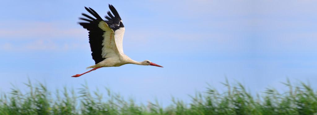 fliegender Storch
